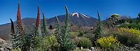 Europe/Espagne/Iles Canaries/Tenerife/Parc National de Téide:Pic du Teide 3718 m  flore du massif volcanique avec  les Orgulo de Tenerife,Fleurs rouges ou Viperine de Tenerife ,ou Echium wildpretii