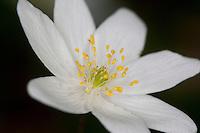 Busch-Windröschen, Buschwindröschen, Busch - Windröschen, Blüte, Einzelblüte, Blütenaufbau mit Staubblatt und Fruchtknoten, Anemone nemorosa, Wind Flower, Wood Anemone, Frühjahrsblüher