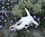 Cow skull and spring flowers at Mojave Desert, California