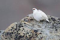 Adult male Rock Ptarmigan (Lagopus muta) in courtship plumage. Seward Peninsula, Alaska. May.