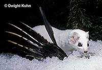 MA28-104z  Short-Tailed Weasel - ermine with bird prey in winter - Mustela erminea