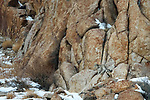 Male snow leopard (Panthera uncia) (formerly Uncia uncia) moving over rocky slopes. Ulley Valley, Himalayas, Ladakh, India.
