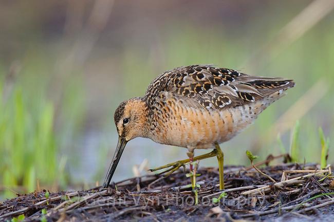 Foraging adult Long-billed Dowitcher (Limnodromus scolopaceus) in breeding plumage. Seward Peninsula, Alaska. May.