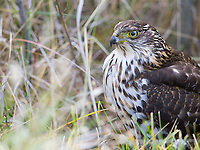 This young Chilean hawk almost smacked into one of our vehicles when it swooped in to kill a meadowlark.