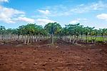Papaya Grove