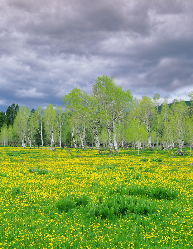 Buttercups and aspens with new spring growth. Freemont National Forest, Oregon