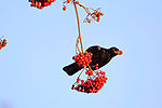 """BERRY NICE!  Stocking up for the winter.  A blackbird indulges on some red berries, which looks like little red jewels in its beak.<br /> <br /> The male bird was tucking into the Rowan berries from hanging tree branches in a suburb of Wigan, Greater Manchester.<br /> <br /> John Cobham, 72, said """"The blackbird and other species were feeding on and off from the trees for about 2 hours.""""<br /> <br /> Please byline: John Cobham/Solent News<br /> <br /> © John Cobham/Solent News & Photo Agency<br /> UK +44 (0) 2380 458800"""