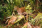 Florida panther, Florida (captive)