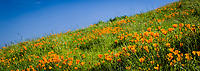 Spring!  A field of green grass and vibrant orange California poppies under a blue spring sky.