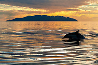 short-beaked common dolphin, Delphinus delphis, at sunset, Gulf of California, Sea of  Cortez, Mexico, Pacific Ocean
