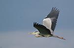 The gray (grey) heron (Ardea cinerea) looks a lot like its larger great blue cousin.<br /> <br /> Moremi Reserve, Okavango Delta, Botswana