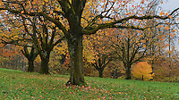 Cherry tree (Prunus sp.), fall colors in orchard, Zug, Switzerland, Europe