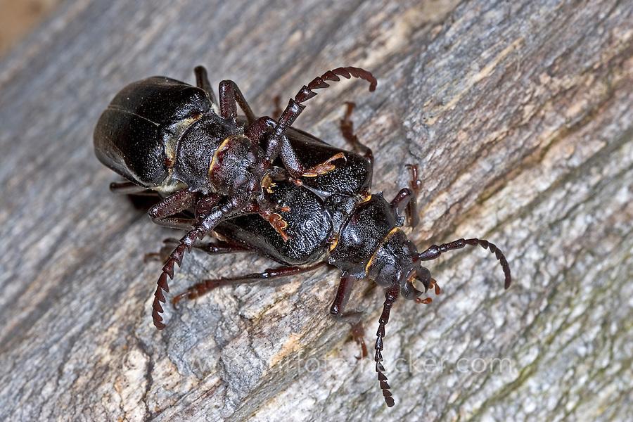 Sägebock, Paarung, Kopulation, Gerberbock, Säge-Bock, Prionus coriarius, the tanner, the sawyer, prionus longhorn beetle, pairing, copulation