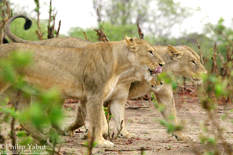 Three young lions patrol in the rain at Chobe National Park, Botswana.