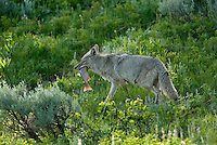 Wild Coyote (Canis latrans) carrying cutthroat trout back to its den.  Western U.S., June.