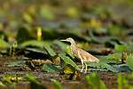 Common Squacco Heron (Ardeola ralloides) on lily pads in swamp, Lake Albert, Toro-Semliki Wildlife Reserve, Western Rift Valley, Great Rift Valley, western Uganda