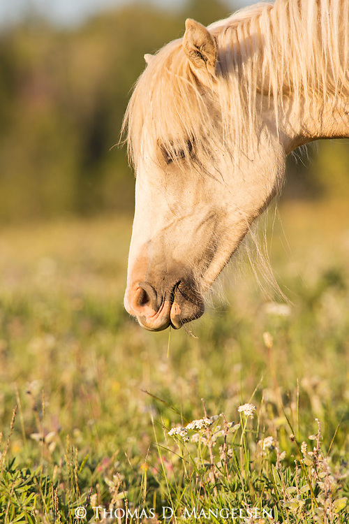 A wild horse feasts on wildflowers in the Pryor Mountains, Montana.
