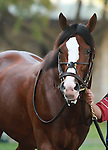 08 October. Get Stormy in the paddock before finishing 2nd in the Shadwell Turf Mile.