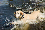 Yellow Labrador dives into the water, Bsihop, California