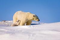 polar bear, Ursus maritimus, mother nurses its newborn spring cub outside their den, mouth of Canning River along the Arctic coast, eastern Arctic National Wildlife Refuge, Alaska, polar bear, Ursus maritimus