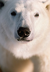Polar bear portrait, Manitoba, Canada