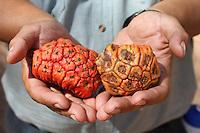 Pandanus Fruits found in Kakadu National Park, Northern Territory
