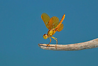 304570008 a wild mexican amberwing dragonfly perithemis intesa perches on a branch near el centro imperail county california united states