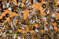 1B14-511z  Honeybee Hive with Worker tending larvae, open cells containing larvae, sealed worker cells, Apis Mellifera, Race Carniolans