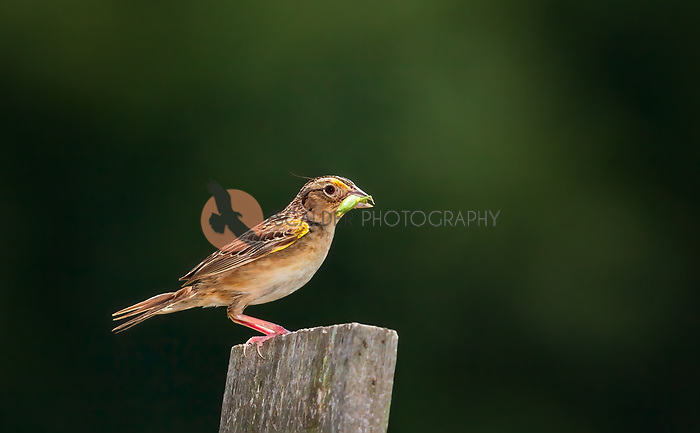 Grasshopper Sparrow perched on fence post with grasshopper in beak