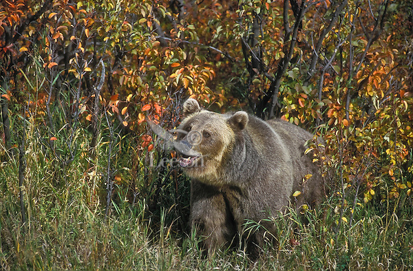 Grizzly Bear (Ursus arctos) amid autumn leaf color, Rocky Mountains, North America.