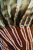 Red Lionfish<br /> Pterois volitans<br /> An invasive species in the Caribbean