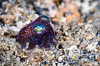 Berry's, Bobtail squid, Euprymna berryi, Lembeh Strait, Sulawesi, Indonesia, Pacific Ocean