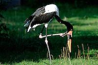 Saddlebill Stork (Ephippiorynchus senegalensis)