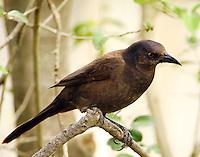 Adult female common grackle