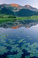 Yellow pond lilies<br />
