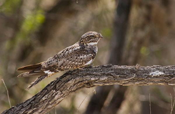 Common Nighthawk, Chordeiles minor, adult on branch, Welder Wildlife Refuge, Sinton, Texas, USA, May 2005