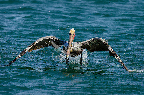 Brown Pelican (Pelecanus occidentalis) taking flight.  California Coast.  Early Spring.  Adult California Brown Pelicans show a bright red throat pouch during mating season.