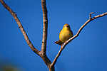 A male Yellow warbler against a deep blue sky