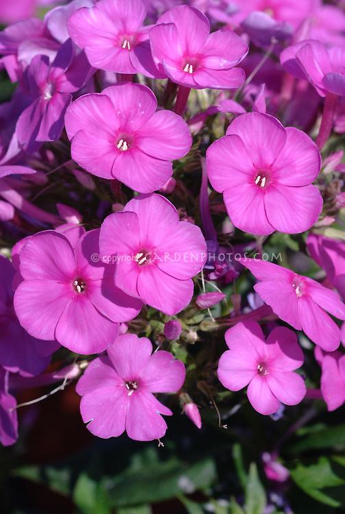 Phlox paniculata 'Junior Dream', a shorter growing garden variety with fragrant pink flowers