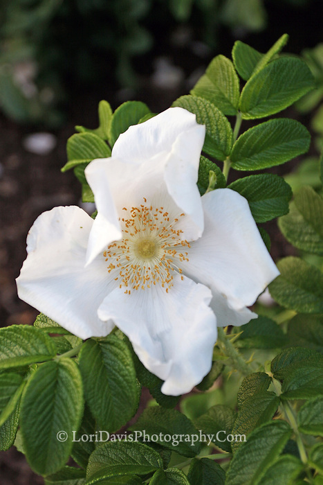 White Rugosa Rose  #F28