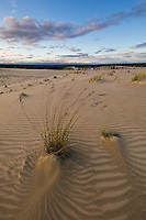 Tufts of grass growing in the great sand dunes in the Kobuk Valley National Park, Arctic, Alaska.