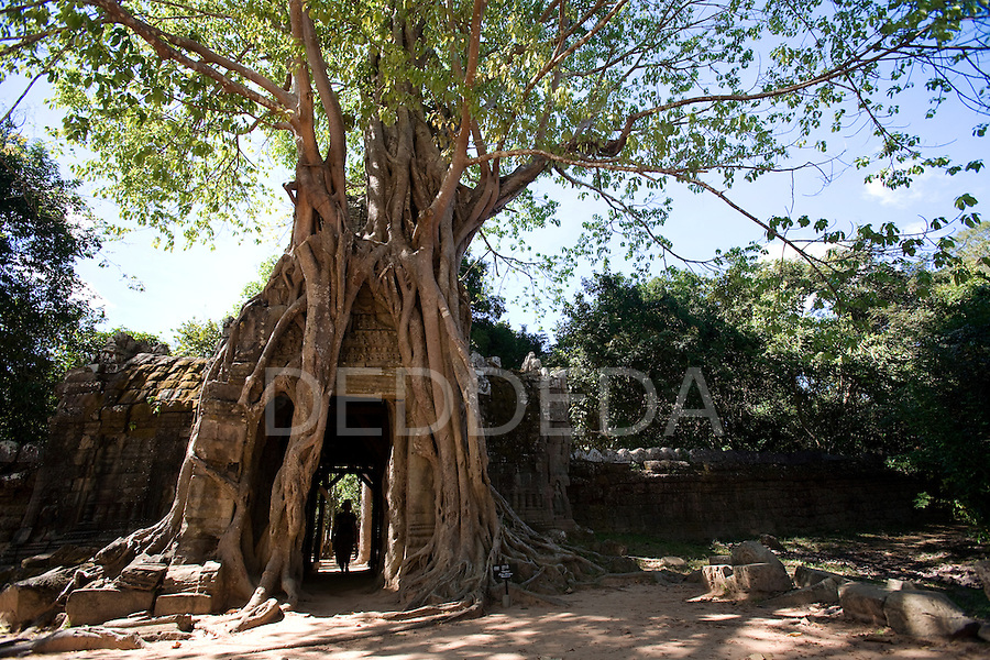 An ancient stone walkway is engulfed by a tree in the ancient city of Angkor in Cambodia.