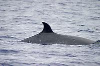 Cookie Cutter shark scars, sei whale , Balaenoptera borealis, Azores Islands, Portugal, North Atlantic