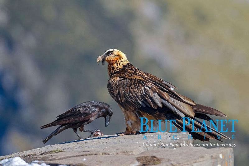 Bearded Vulture (Gypaetus barbatus), subadult bird, Pyrenees, Aragon, Spain, Europe