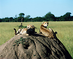 An old termite mound is home and vantage point for a family of cheetahs.