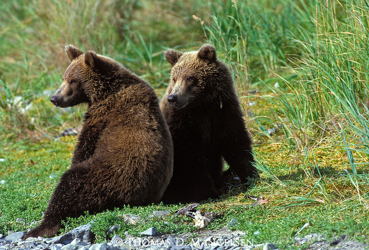 Two Alaskan Brown Bears (Ursus arctos) resting on the bank of a stream in Southeast, AK
