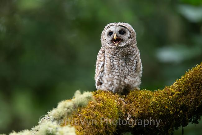 Barred Owl (Strix varia) fledgling. Washington County, Oregon. June.