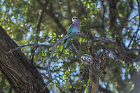 Africa, Botswana, Okavango Delta, Khwai Private Reserve. Lilac Breasted roller.
