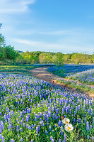 Shadows Across Bluebonnets Vertical - We came across this bluebonnet field in the Texas Hill Country and like the way the low angle of the sun in the sky and cast these nice shadow across these wildflowers. This ranch with bluebonnets just erupted when we were beginning to think the bluebonnet season was pretty much over in the Texas Hill country.  Not so fast as a little rain and this field seem to errupt overnight. So this wonderful field of texas wildflower with a sprinkling of indian paintbrush and poppies with the bluebonnet and the trees and mesquite in the background  finally  started to leaf out in bright greens made a nice contrast for the flowers in this field.  The curving ranch road through the property added a little interest to this wonderful lush field of bluebonnet wildflowers in the hill country.  Texans love their texas bluebonnets or lupines and this field is why we can't get enough of them.  They pop up year after year but not always in the same spot it kind of like a treasure hunt every year.