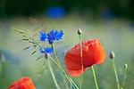 Europa, DEU, Deutschland, Nordrhein-Westfalen, Niederrhein, Klatschmohn (Papaver rhoeas), auch Mohnblume oder Klatschrose, Natur, Umwelt, Pflanzen, Pflanzenkunde, Botanik, Biologie, <br /> <br /> [Fuer die Nutzung gelten die jeweils gueltigen Allgemeinen Liefer-und Geschaeftsbedingungen. Nutzung nur gegen Verwendungsmeldung und Nachweis. Download der AGB unter http://www.image-box.com oder werden auf Anfrage zugesendet. Freigabe ist vorher erforderlich. Jede Nutzung des Fotos ist honorarpflichtig gemaess derzeit gueltiger MFM Liste - Kontakt, Uwe Schmid-Fotografie, Duisburg, Tel. (+49).2065.677997, ..archiv@image-box.com, www.image-box.com]